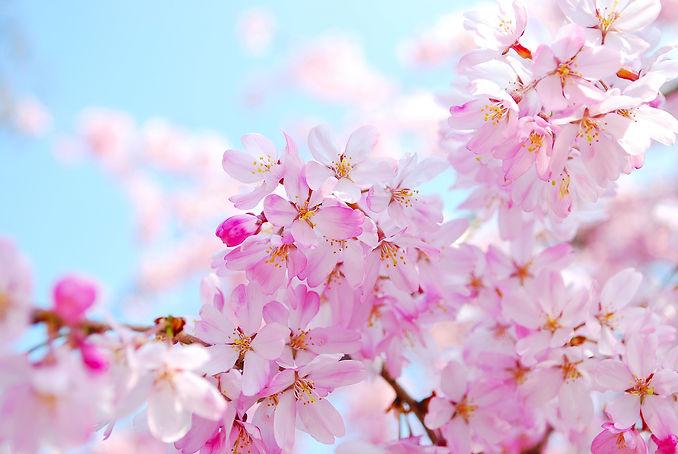 bigstock-Japanese-Cherry-Blossoms-5958546.jpg