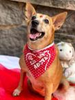 Cães abandonados são estrelas no Fla x Flu do CarioCão