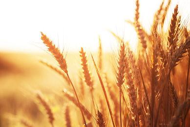 WheatField_Lead.jpg