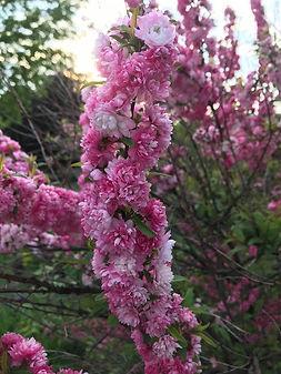 Pink bushes - Doretta.jpg