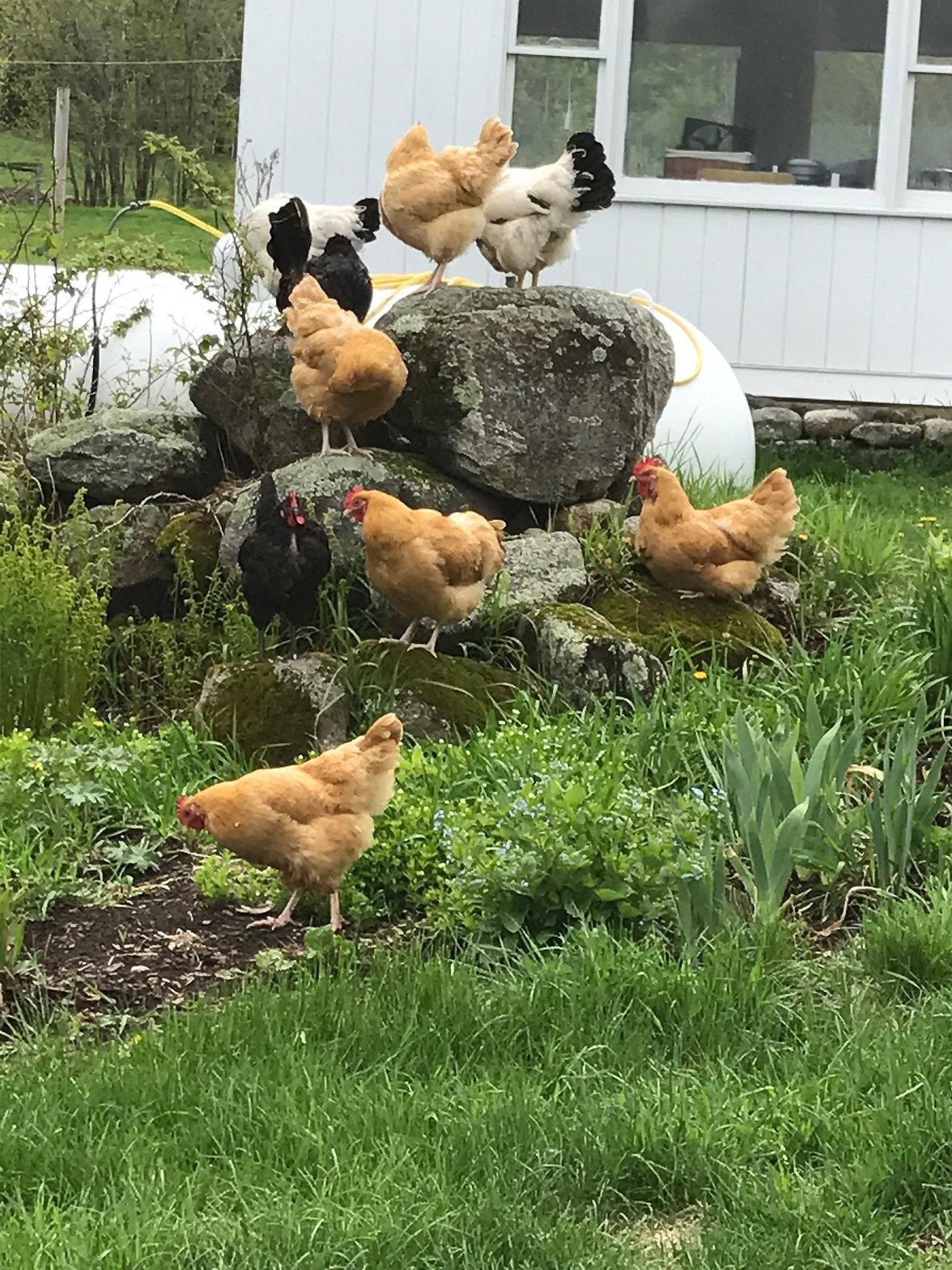 Doretta Chickens.jpg