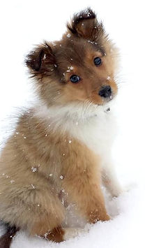 Sheltie puppy.jpg