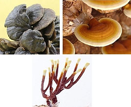 Other varieties and types of Reishi