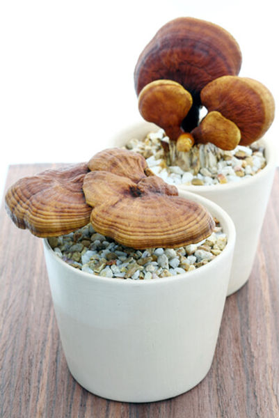 Reishi in decorative pots