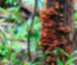 Reishi growing on oak tree