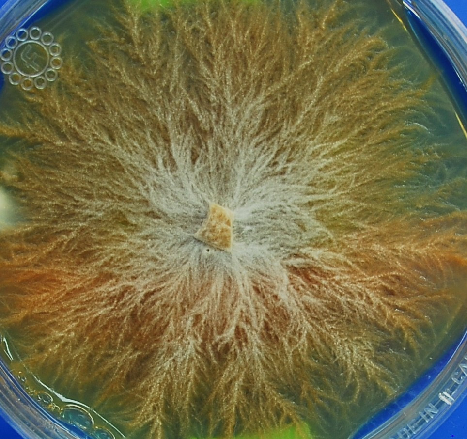 Mycelium growing in a solution