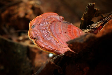 Matured Reishi close up