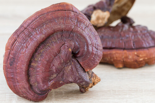 Full grown mature reishi fruit body