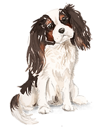 Tri colour King Charles Spaniel .png