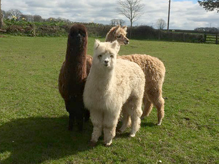 20 Things to Know About Alpacas