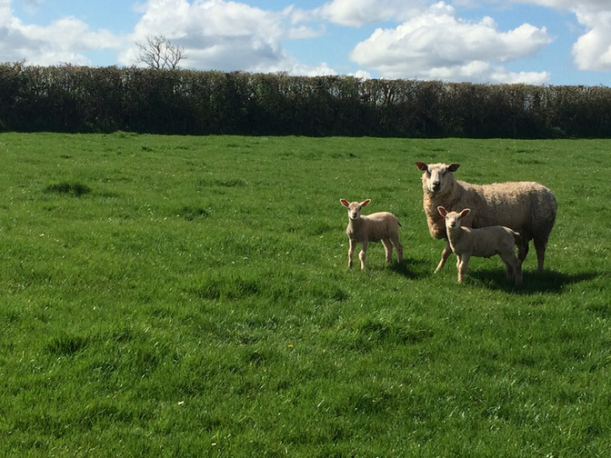 Spring is the season for lambs!