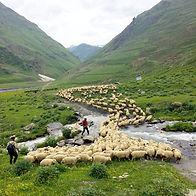 les-bergers-touches-et-leurs-troupeaux-d