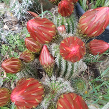 tricocereus hybrid flowers_00a.jpg