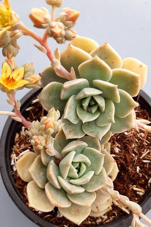 graptoveria hybrid