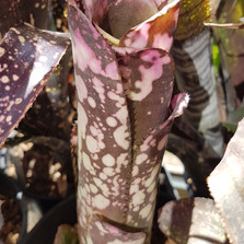 billbergia don beadlle hybrid.jpg