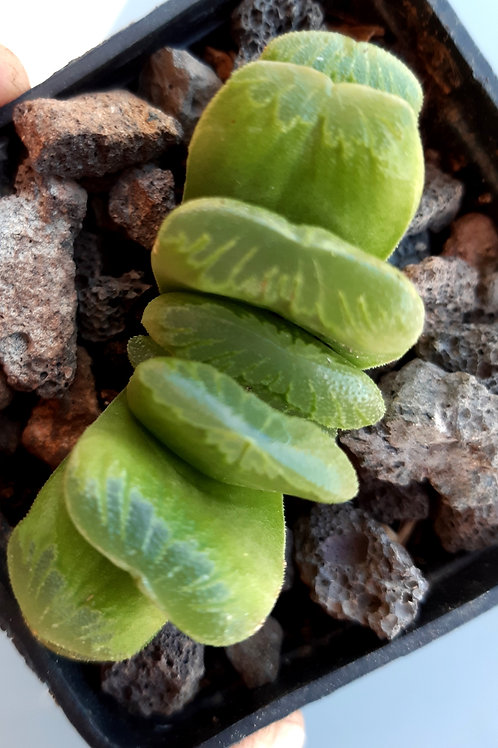 Haworthia Truncata aff 'lime green'