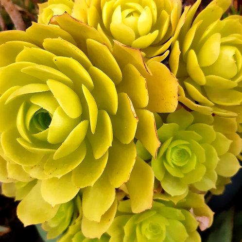 aeonium hybrid gelb
