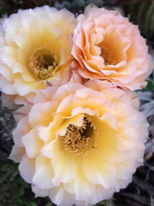 Echinopsis O PARADISO   ISI 2000-23