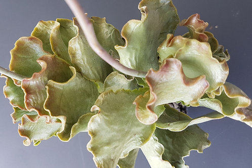 Adromischus sphenophyllus v. undulatus ISI