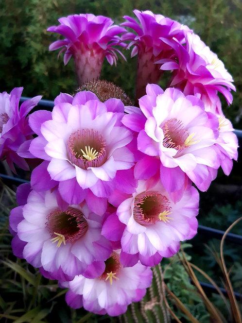 Akersia Hyb. 'Pink Velvet'