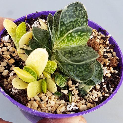 Gasteria pillansii f. variegata