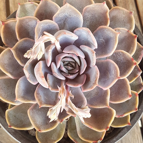 Echeveria Hybrid #1 - 15cm pot.
