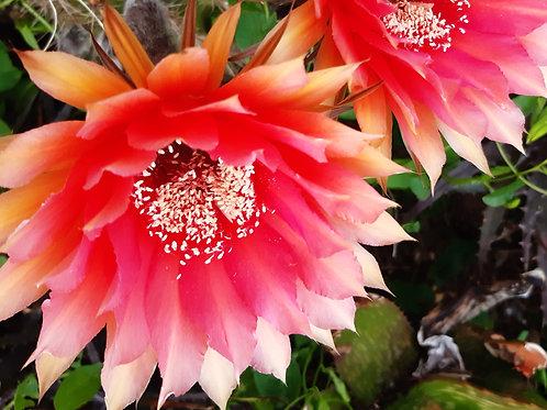 Echinopsis 'Tondelayo' Schick   ISI 97-34