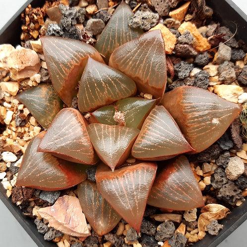 Haworthia ruby star      -adult