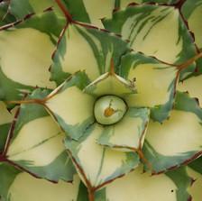 agave hybrid_001.jpg
