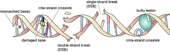 1. DNA damage.png