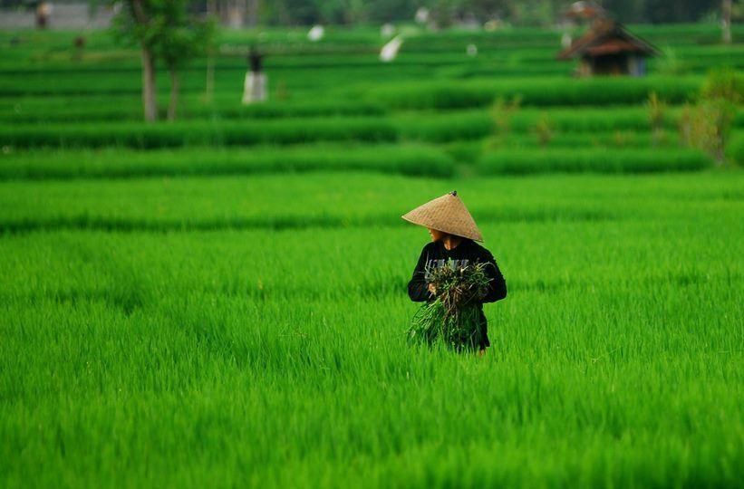 rice paddys.jpg