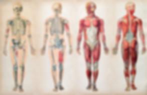 anatomy-charts-human-body-muscle-systems