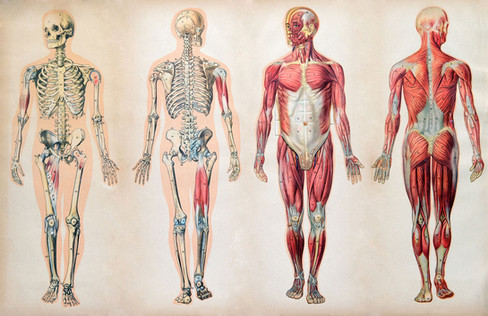 anatomy-charts-human-body-muscle-systems
