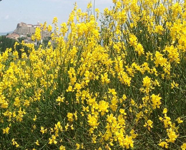 Noepoli blooming in early summer