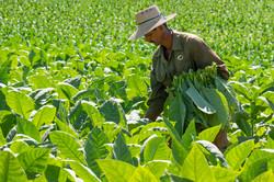 Tobacco picker, Viñales, Cuba