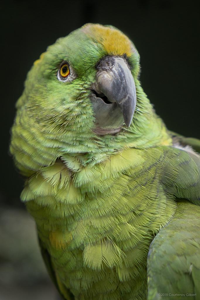 Parrot Guatemala