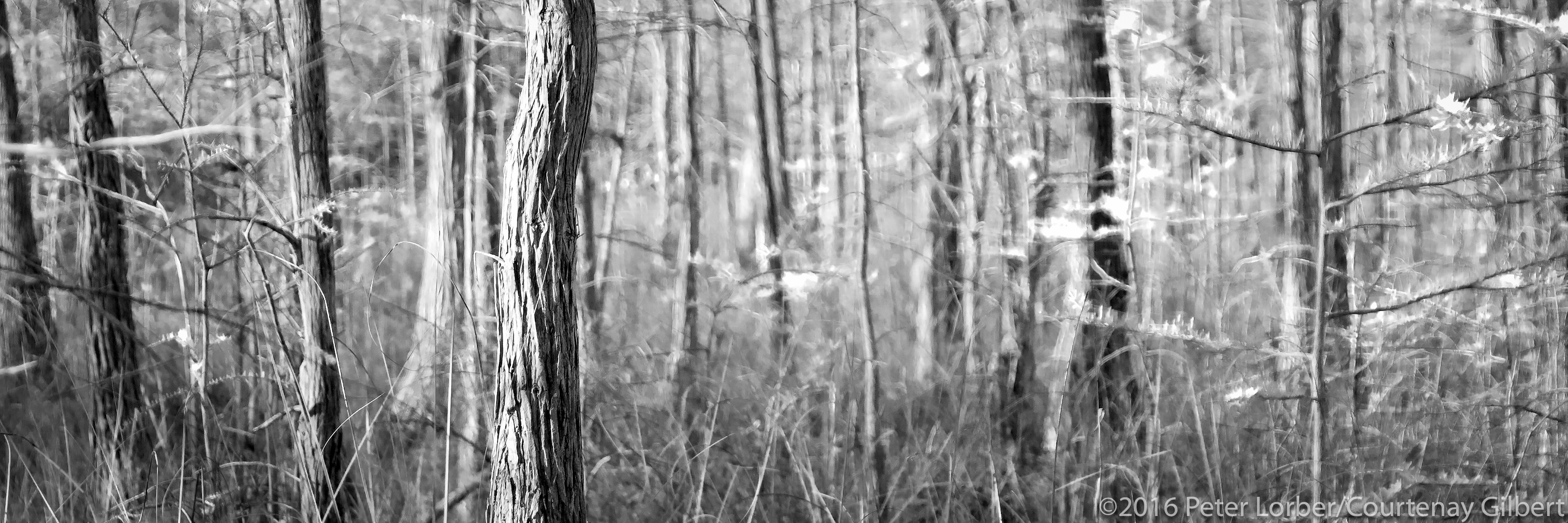 Trees of Ochopee