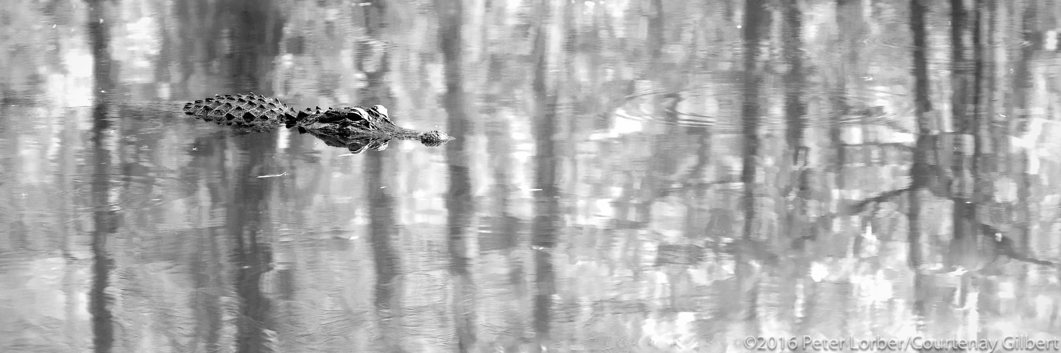 Alligator Reflections