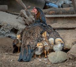 Chicken with Chicks, Viñales, Cuba