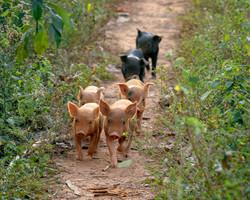 Piglets, Viñales, Cuba