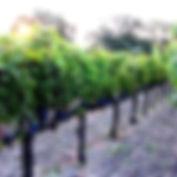 Kaiser Family Winery Vines