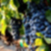 Kaiser Family Winery Grapes