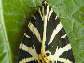 Rare moth discovered in Hampstead!