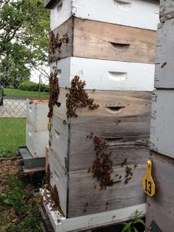 Hive 12 FL