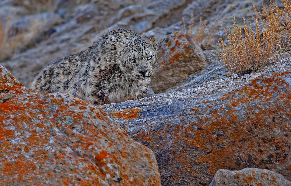 snow leopard DSC_3652.jpg