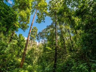 Hollong: The Forgotten Tree