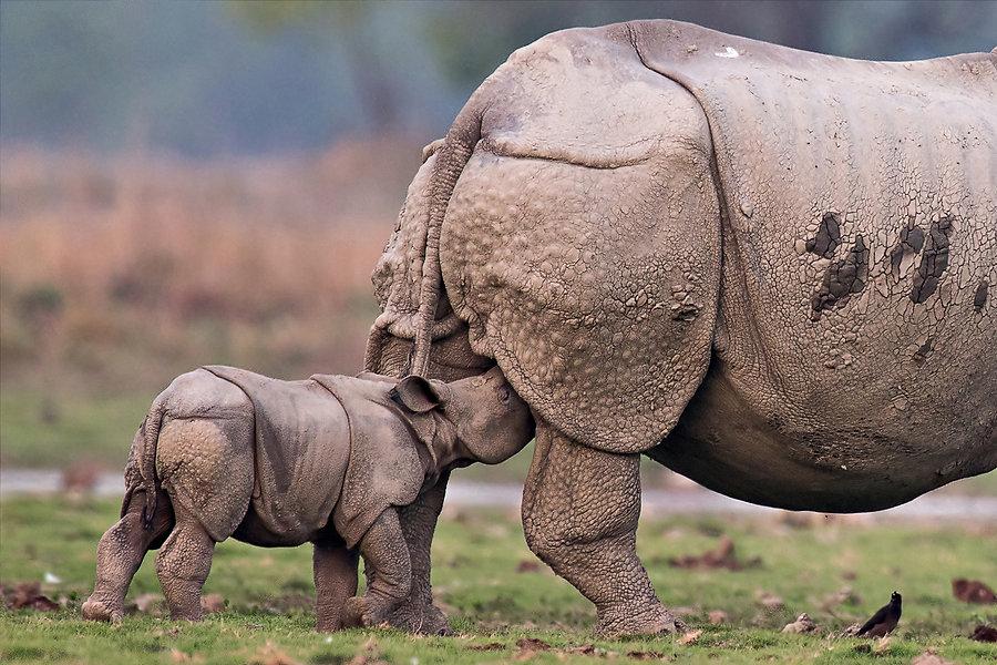 Rhino feeding.jpg