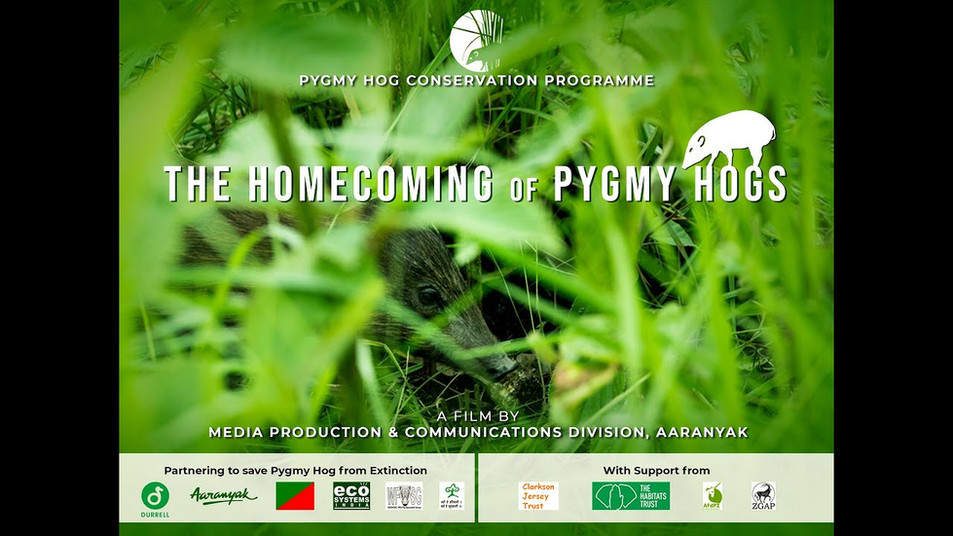 The Homecoming of Pygmy Hogs