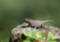 Japalura forest lizard (Japalura sp).jpg