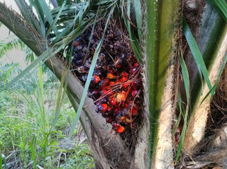 State Pushing for Oil Palm Despite any Economic or Ecological Benefit